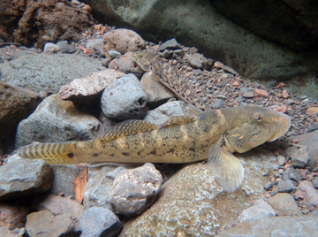 RC-2447: 'O'opu nākea (Awaous guamensis) An example of an at-risk native goby fish in Hawai'i threatened by aquatic invasive species.